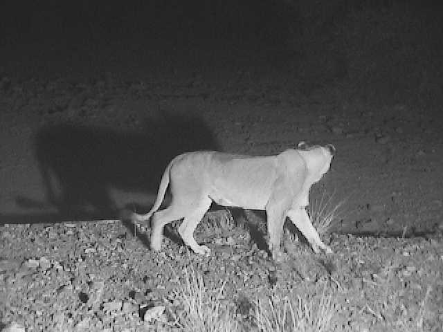 Lioness at nightime