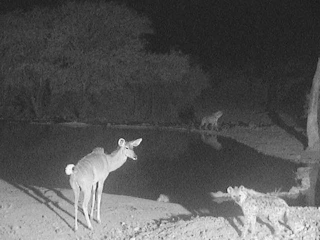 Spotted hyenas and Kudu