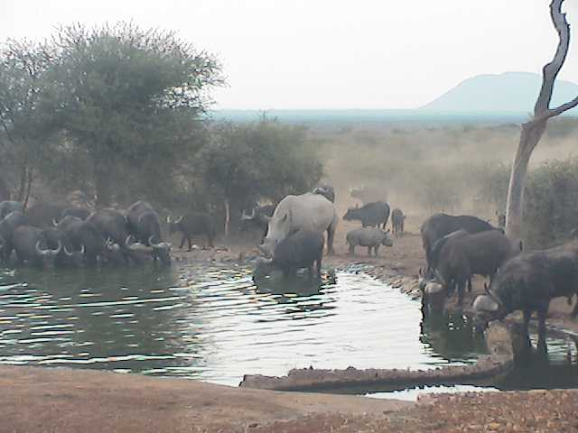 Buffalo and Rhino together at the Bush House waterhole