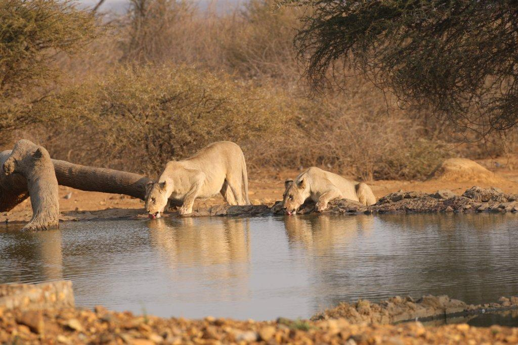 Lionesses drinking at water hole
